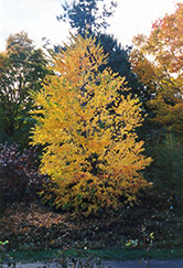 Katsura Tree (Cercidiphyllum japonicum) at Gardens To Go