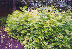 False Spirea (Sorbaria sorbifolia) at Gardens To Go