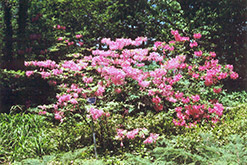 Northern Lights Azalea (Rhododendron 'Northern Lights') at Gardens To Go