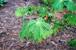 Fullmoon Maple (Acer japonicum) at Gardens To Go