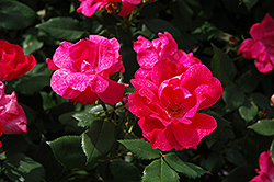 Knock Out® Rose (Rosa 'Radrazz') at Gardens To Go