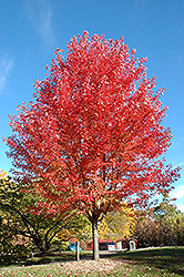 Autumn Blaze Maple (Acer x freemanii 'Jeffersred') at Gardens To Go