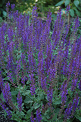 May Night Sage (Salvia x sylvestris 'May Night') at Gardens To Go