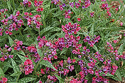Raspberry Splash Lungwort (Pulmonaria 'Raspberry Splash') at Gardens To Go