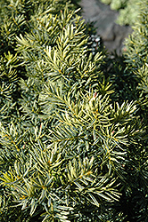 Dwarf Bright Gold Yew (Taxus cuspidata 'Dwarf Bright Gold') at Gardens To Go