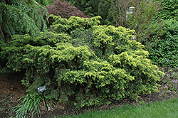 Saybrook Gold Juniper (Juniperus x media 'Saybrook Gold') at Gardens To Go