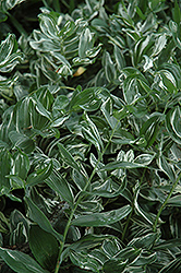 Variegated Solomon's Seal (Polygonatum multiflorum 'Variegatum') at Gardens To Go