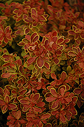 Admiration Japanese Barberry (Berberis thunbergii 'Admiration') at Gardens To Go