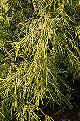 Lemon Thread Falsecypress (Chamaecyparis pisifera 'Lemon Thread') at Gardens To Go