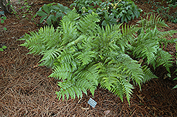 Autumn Fern (Dryopteris erythrosora) at Gardens To Go