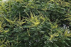 Golden Rain Tree (Koelreuteria paniculata) at Gardens To Go