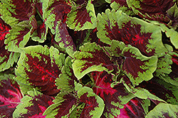 Kong Red Coleus (Solenostemon scutellarioides 'Kong Red') at Gardens To Go
