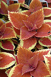 Trusty Rusty Coleus (Solenostemon scutellarioides 'Trusty Rusty') at Gardens To Go