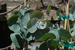 Silver Dollar Gum (Eucalyptus cinerea) at Gardens To Go