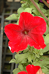 Madness Red Petunia (Petunia 'Madness Red') at Gardens To Go