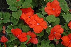 Super Elfin® Bright Orange Impatiens (Impatiens walleriana 'Super Elfin Bright Orange') at Gardens To Go