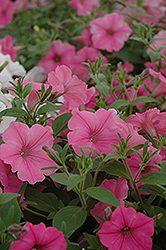Supertunia Vista® Bubblegum Petunia (Petunia 'Supertunia Vista Bubblegum') at Gardens To Go