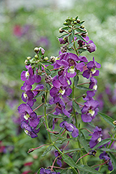 Blue Angelonia (Angelonia angustifolia 'Blue') at Gardens To Go