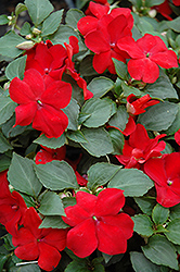 Super Elfin® Red Impatiens (Impatiens walleriana 'Super Elfin Red') at Gardens To Go