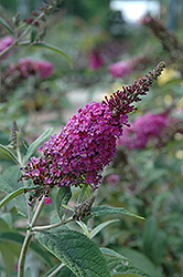 Miss Ruby Butterfly Bush (Buddleia davidii 'Miss Ruby') at Gardens To Go