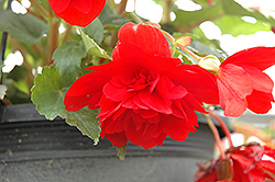 Illumination® Scarlet Begonia (Begonia 'Illumination Scarlet') at Gardens To Go