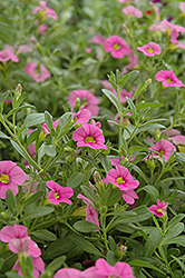 Cabaret® Light Pink Calibrachoa (Calibrachoa 'Cabaret Light Pink') at Gardens To Go