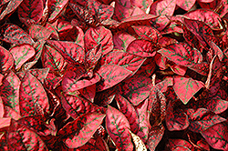 Splash Select Red Polka Dot Plant (Hypoestes phyllostachya 'Splash Select Red') at Gardens To Go
