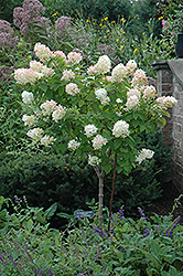 Limelight Hydrangea (tree form) (Hydrangea paniculata 'Limelight (tree form)') at Gardens To Go