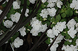 Dazzler White Impatiens (Impatiens 'Dazzler White') at Gardens To Go