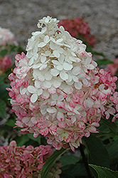 Vanilla Strawberry™ Hydrangea (Hydrangea paniculata 'Renhy') at Gardens To Go