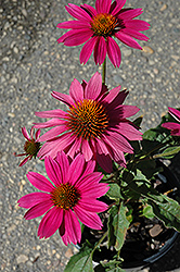 PowWow Wild Berry Coneflower (Echinacea purpurea 'PowWow Wild Berry') at Gardens To Go