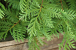 Soft Serve® Falsecypress (Chamaecyparis pisifera 'Dow Whiting') at Gardens To Go