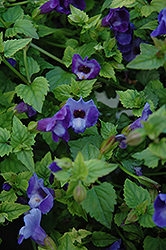 Summer Wave® Blue Torenia (Torenia 'Summer Wave Blue') at Gardens To Go