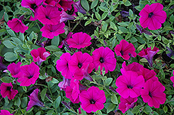 Wave Purple Classic Petunia (Petunia 'Wave Purple Classic') at Gardens To Go