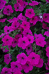 Easy Wave Violet Petunia (Petunia 'Easy Wave Violet') at Gardens To Go