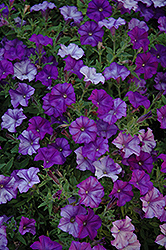 Shock Wave Denim Petunia (Petunia 'Shock Wave Denim') at Gardens To Go