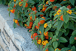 Lucky™ Red Flame Lantana (Lantana camara 'Lucky Red Flame') at Gardens To Go
