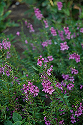 AngelMist® Dark Rose Angelonia (Angelonia angustifolia 'AngelMist Dark Rose') at Gardens To Go