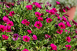 Cabaret® Rose Calibrachoa (Calibrachoa 'Cabaret Rose') at Gardens To Go