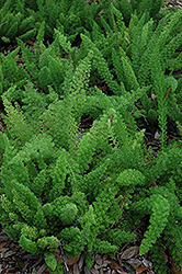 Myers Foxtail Fern (Asparagus densiflorus 'Myers') at Gardens To Go