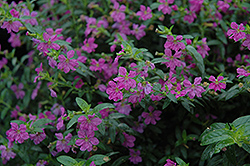 Allyson Mexican Heather (Cuphea hyssopifolia 'Allyson') at Gardens To Go