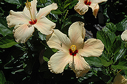 Single Peach Hibiscus (Hibiscus rosa-sinensis 'Single Peach') at Gardens To Go