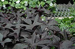Blackie Sweet Potato Vine (Ipomoea batatas 'Blackie') at Gardens To Go