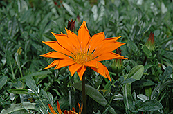 New Day Clear Orange Gazania (Gazania 'New Day Clear Orange') at Gardens To Go