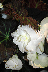 Nonstop® Mocca White Begonia (Begonia 'Nonstop Mocca White') at Gardens To Go