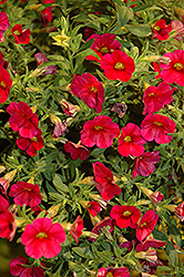 Callie® Bright Red Calibrachoa (Calibrachoa 'Callie Bright Red') at Gardens To Go