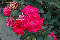 Red Double Knock Out Rose (Rosa 'Red Double Knock Out') at Gardens To Go