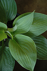 Empress Wu Hosta (Hosta 'Empress Wu') at Gardens To Go