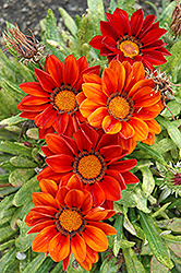 New Day Clear Red Shades (Gazania 'New Day Red Shades') at Gardens To Go