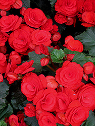 Nonstop® Red Begonia (Begonia 'Nonstop Red') at Gardens To Go
